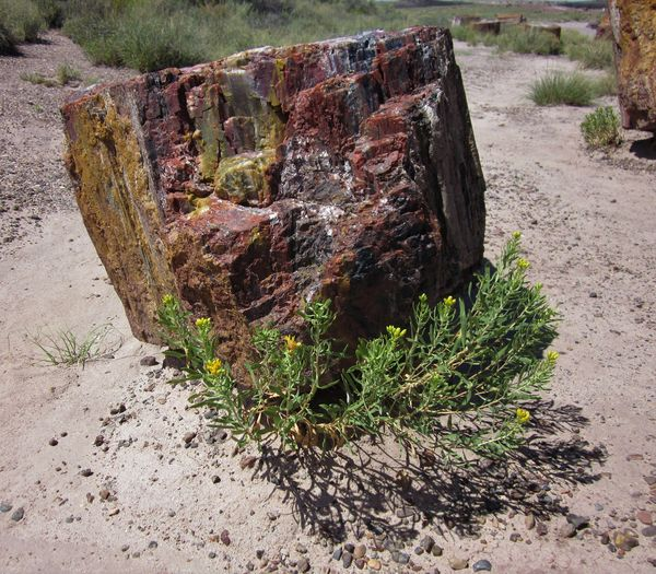 "a ""Stump"" in the Petrified Forest..."
