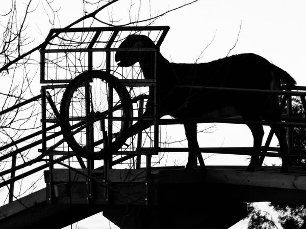 Goat on bridge spinning wheel to bring up a cup of...