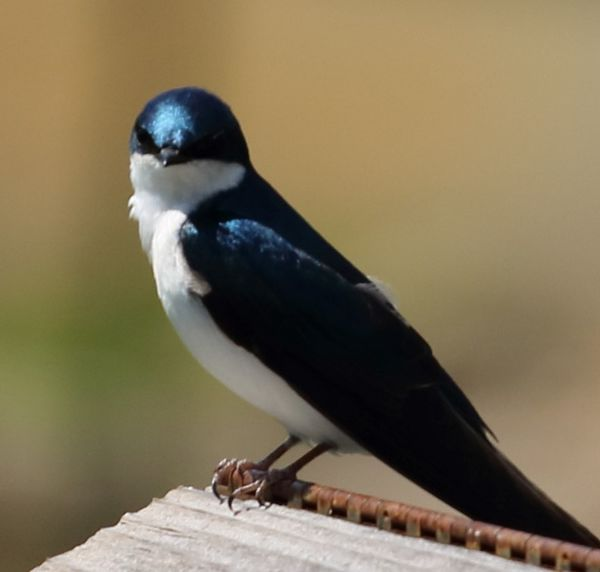 Tree Swallow guarding her nest....