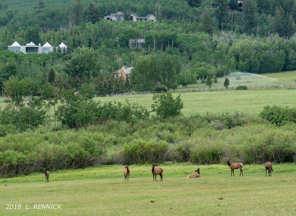 Grazing Elk...