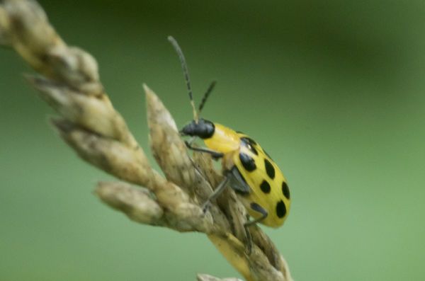 Yellow Black Spotted Unknown Bug