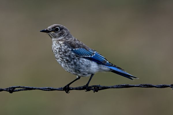 Mountain Bluebird Waiting for a Meal...