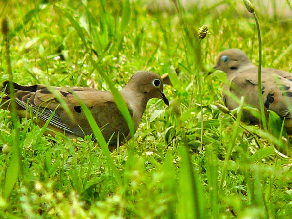 Mourning Doves...