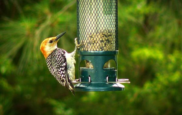 Female Red Bellied Woodpecker...