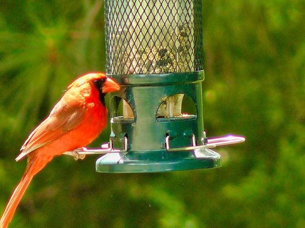 Male Cardinal...