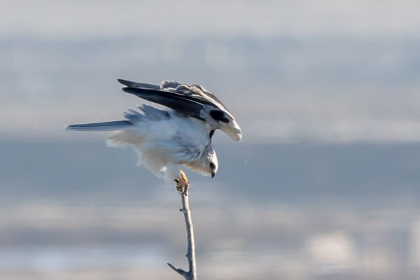 White-tailed Kite Holding on in the Wind...