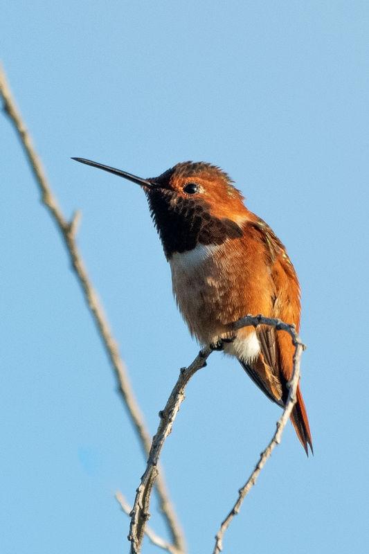 Rufous Hummingbird...