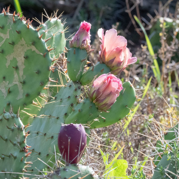 A little rain and the cacti bloom...