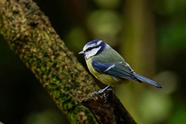 Blue Tit....