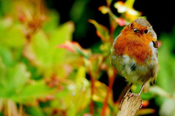 Robin 1...