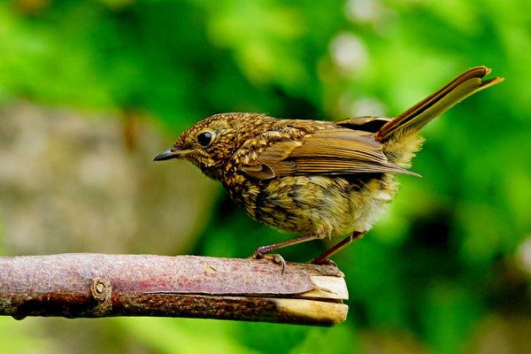 Juvenile Robin...