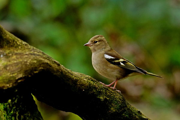 Female Chaffinch...