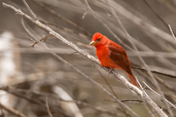 Summer Tanager...