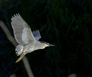 Night Herons are a favourite of many...