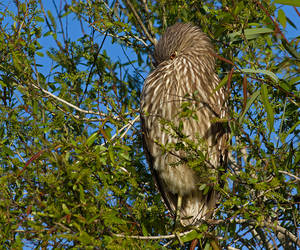 The Shadow Knows. Juvinile Night Heron...