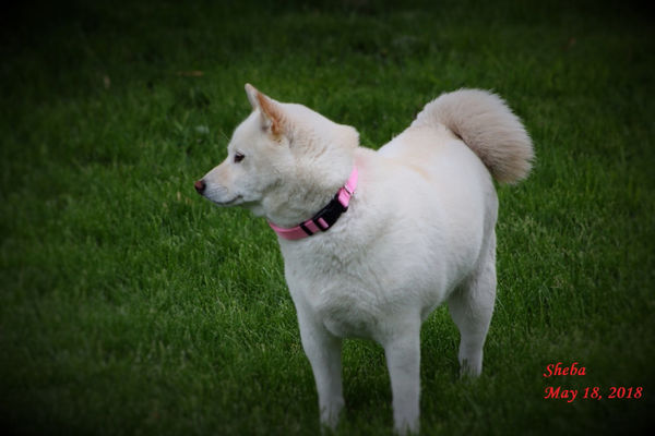 Our 2 current pet's 4yr. old - Shiba-Inu's -...