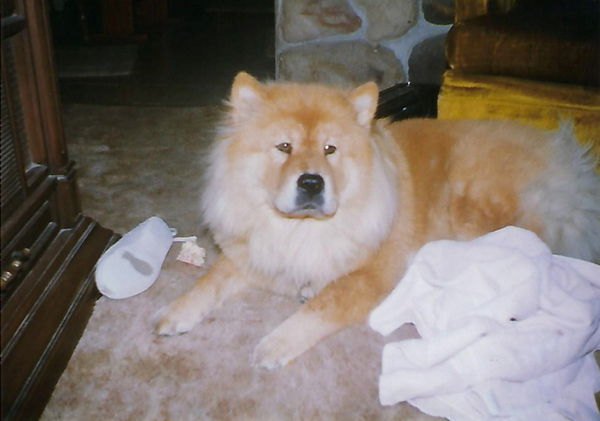Our 1st Shelby was a Chow...