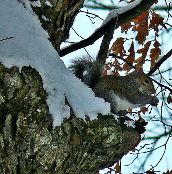 Squirrel with a chilly seat for Lunch....