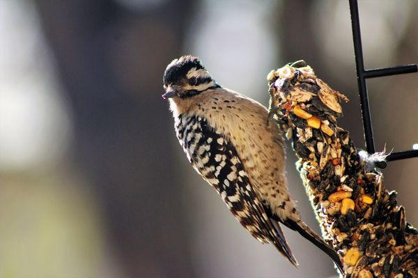 female ladderback woodpecker...