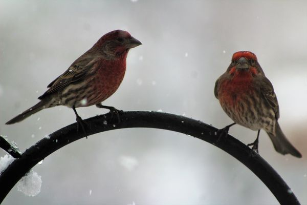 male house finches in the snow...