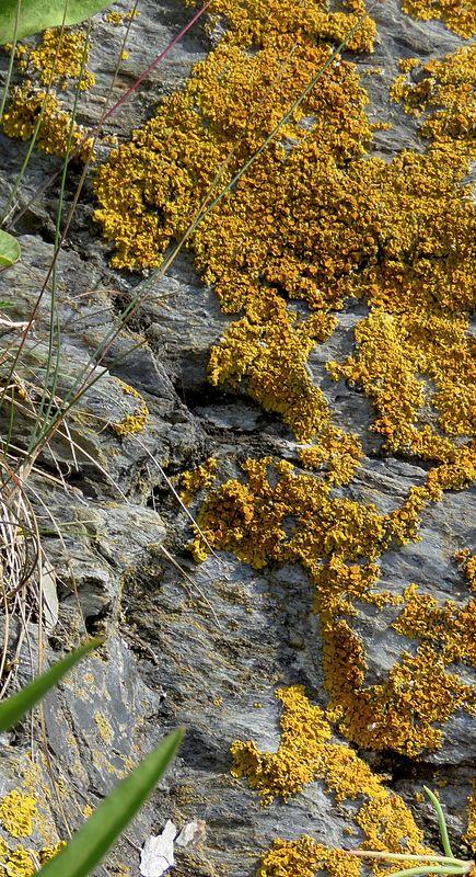 yellow lichen...