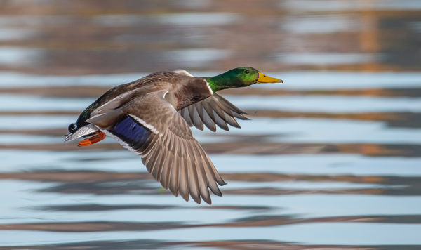 Mallard in flight. Union Bay Natural Area...