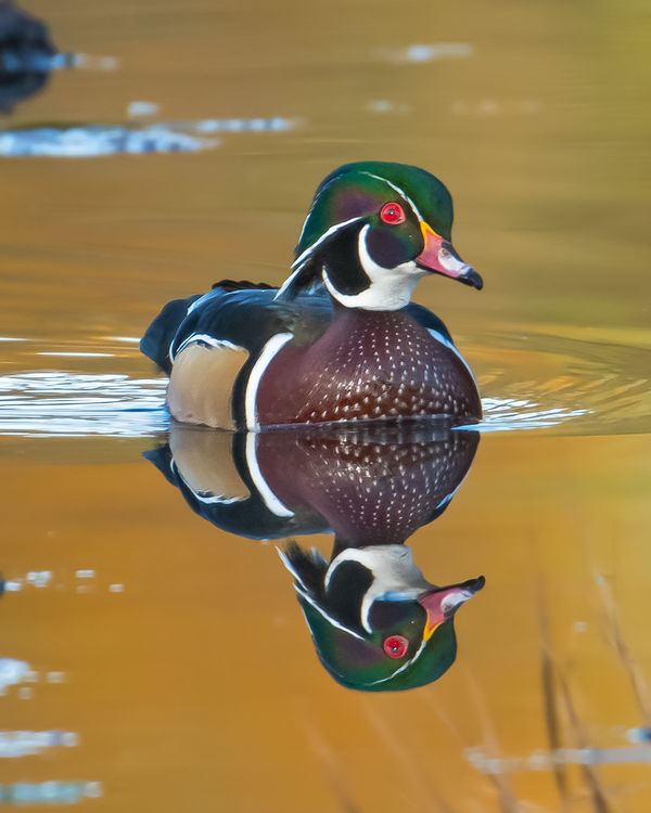 Wood Duck. Union Bay Natural Area...