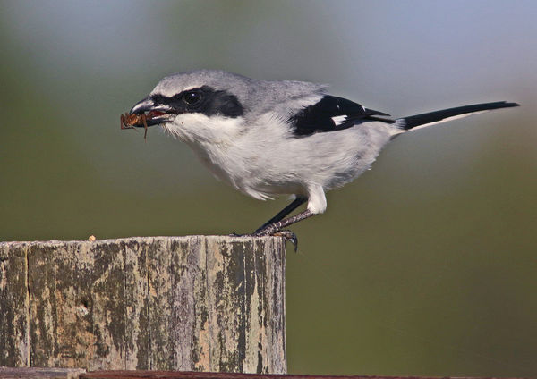 Shrike with snack...