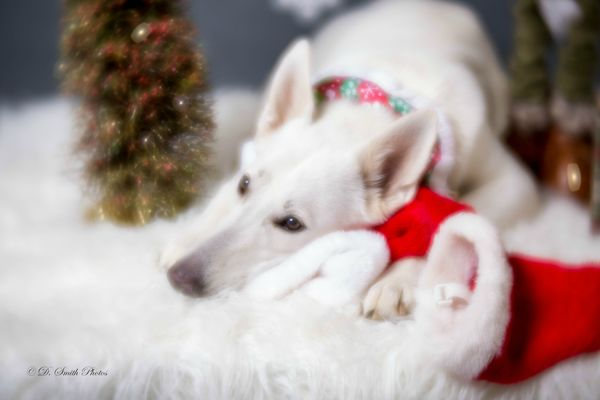 A very sweet White German Shepherd...