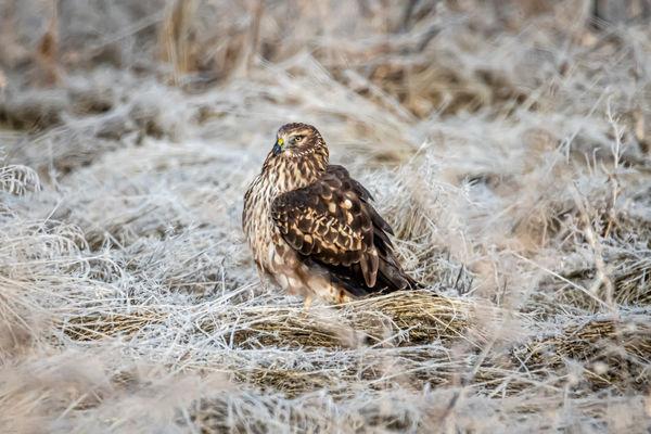 Northern Harrier resting...
