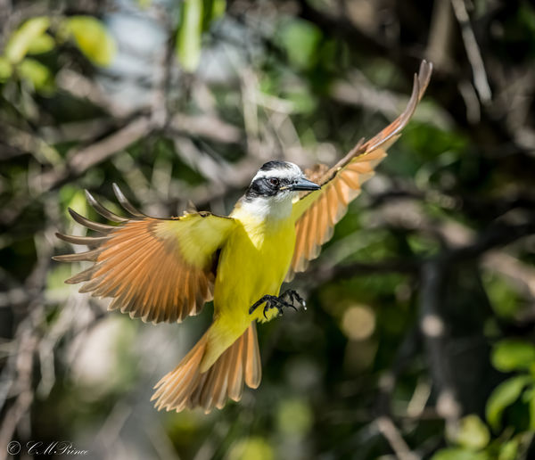 Kiskadee in flight before landing on feeder...