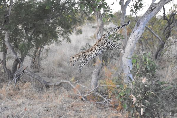 Big spotted kitty in S. Africa MAY 2019...