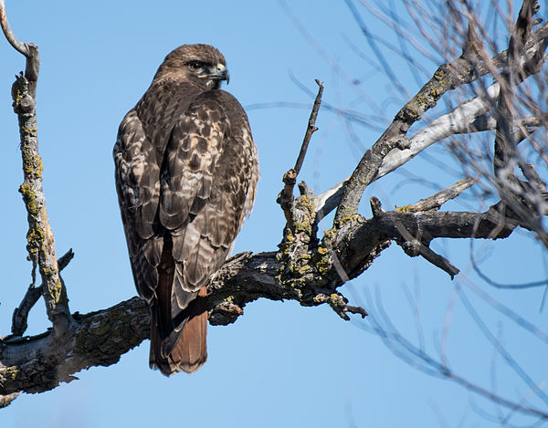 The Red-tailed Hawk...