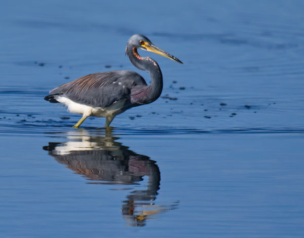 Tricolored Herons never fail to entertain with the...