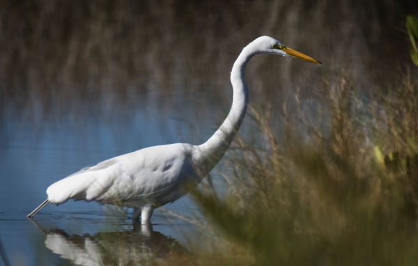 This beautiful Great Egret disappeared into the gr...