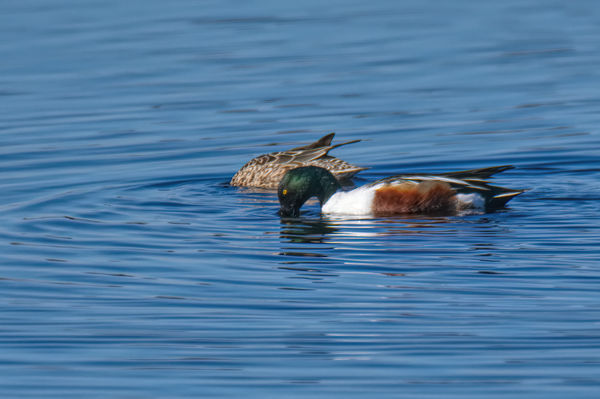 I believe these are Northern Shovelers....