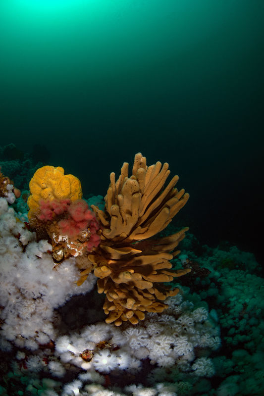 Glove Sponge,  Neoesperiopsis digitata...