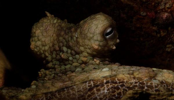 Octopus bimaculata...