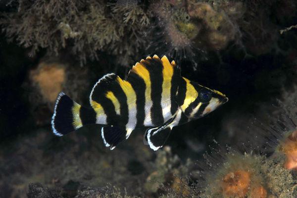 Sebastes serriceps, Treefish, juvenile...