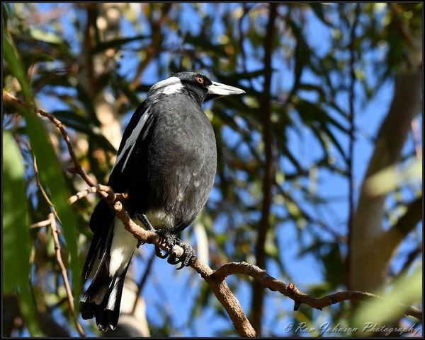 Australian Magpie...