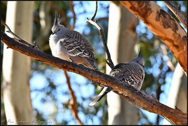 Crested Pigeons...