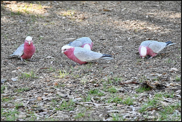 Galahs, not a great pic, it was taken from about 7...