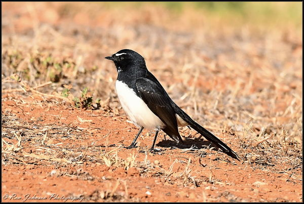 Ditto for this Willy Wagtail...