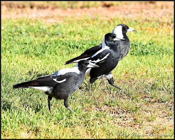 Adult (centre) and two young Aust. Magpies...