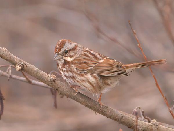 Song Sparrow...