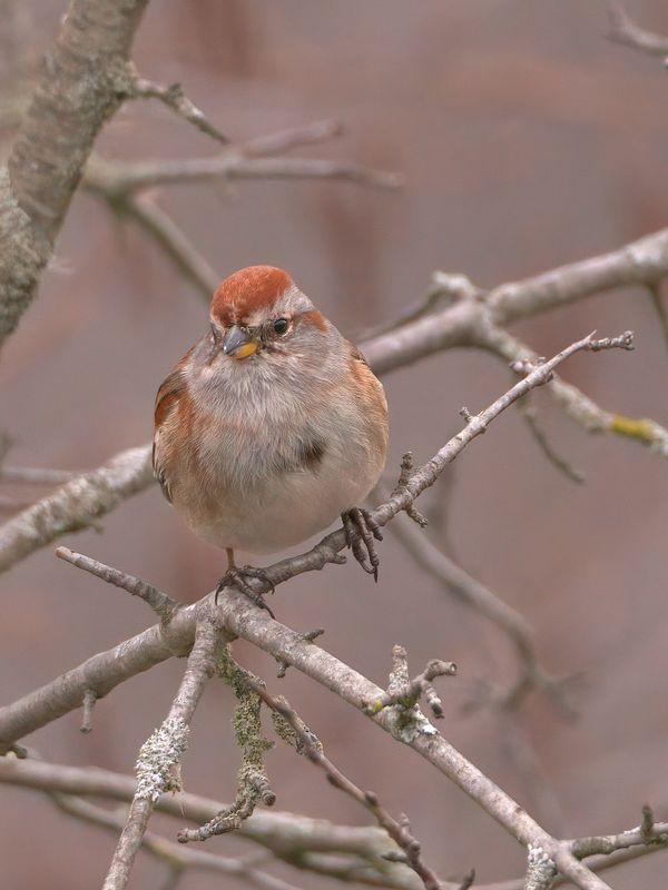 American Tree Sparrow...