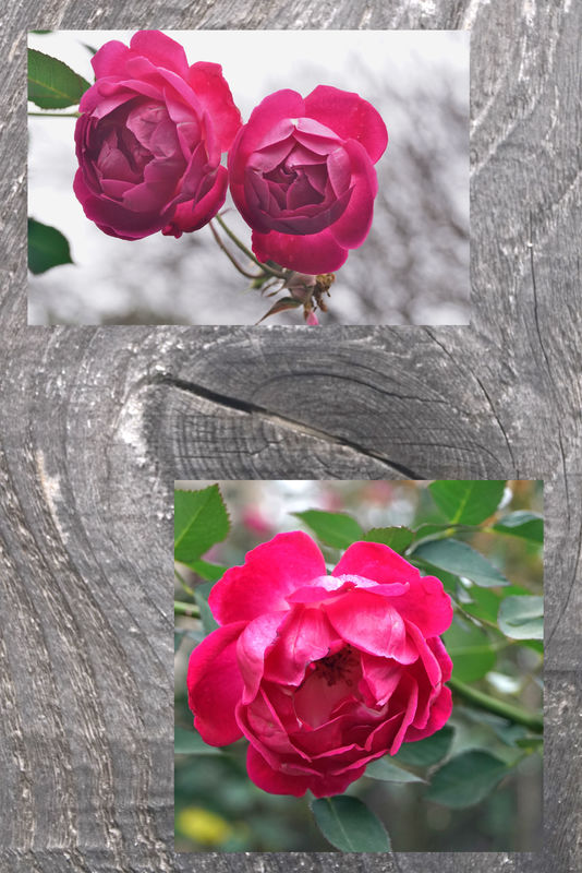 On the next door rose bushes has really blossomed....