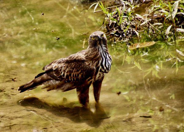 Snake Eagle...