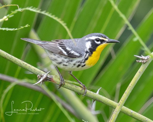 Yellow-throated Warbler...