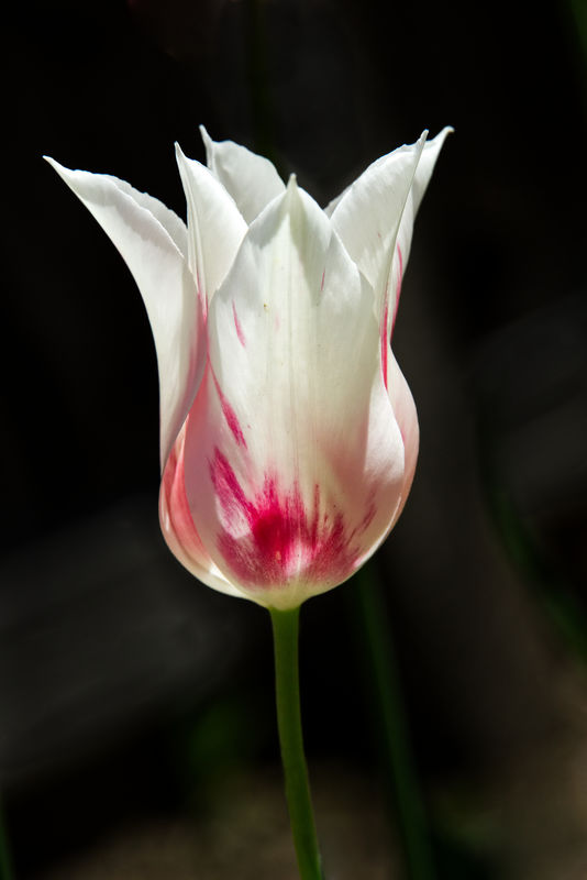 Lovely tulip in the same backyard garden in Idaho....